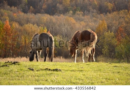 two majestic horses grazing on sunny summer pasture - stock photo