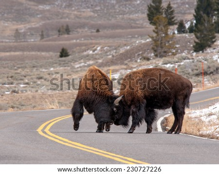 Two male bison sparring in the roadway in Yellowstone National Park - stock photo