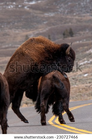Two male bison sparring in the roadway in Yellowstone National Park, portrait - stock photo