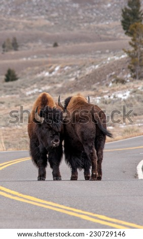 Two male bison standing side by side in the roadway in Yellowstone National Park, portrait - stock photo
