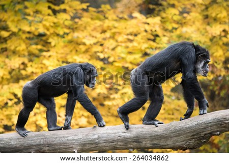 Two Male Chimpanzees Walking on Tree Branch Against Background of Yellow Leaves - stock photo