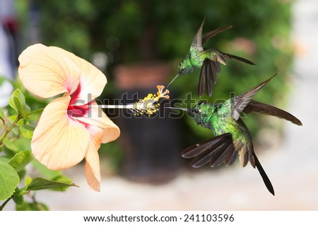 Two male Cuban emerald hummingbirds (Chlorostilbon ricordii) hovering on yellow hibiscus flower  - stock photo