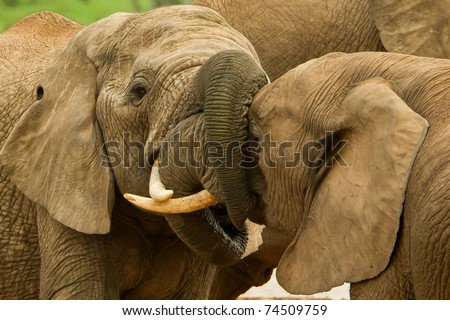two male elephants with locked trunks at a water hole - stock photo