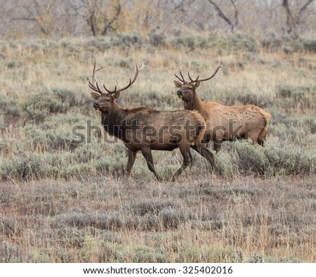 Two Male Elks - stock photo