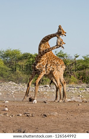 Two male Giraffes fighting; Giraffa camelopardalis
