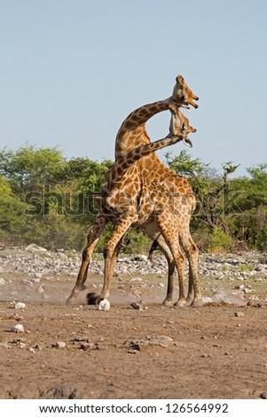 Two male Giraffes fighting; Giraffa camelopardalis - stock photo