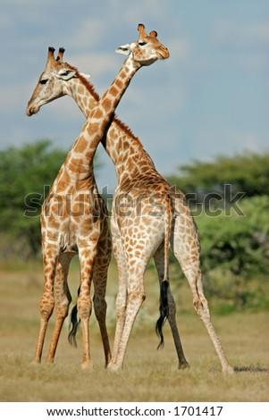 Two male giraffes (Giraffa camelopardalis) fighting, Etosha National Park, Namibia - stock photo