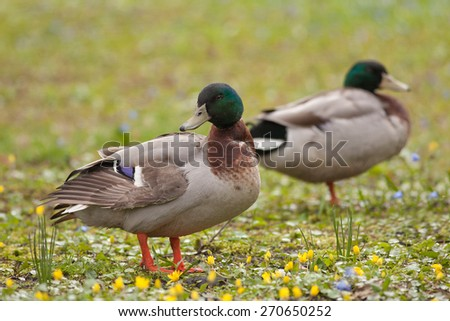 two male mallard ducks (Anas platyrhynchos) resting on the green grass - stock photo