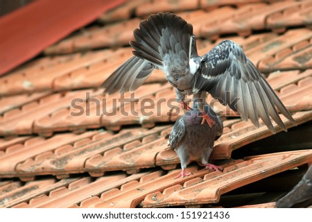 two male pigeons fighting for a female on the roof in a spring day