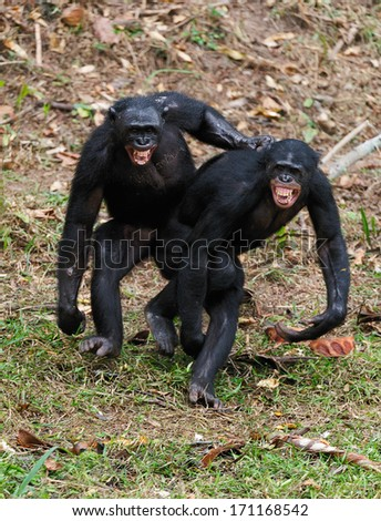 Two  males bonobo  mating.  Democratic Republic of Congo. Africa  - stock photo