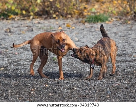 Two males dogs playing at a park - stock photo