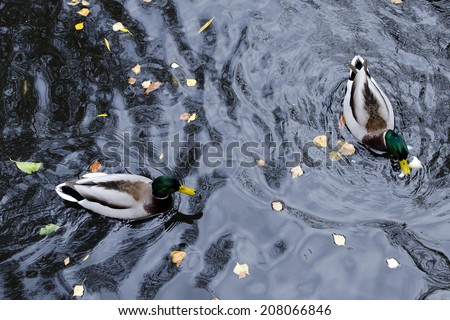 Two mallard duck on a water in dark  pond with floating autumn or fall leaves, top view. - stock photo