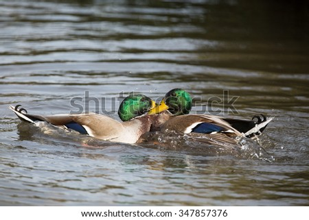 Two mallard ducks fighting, unedited image.(Anas platyrhynchos) - stock photo