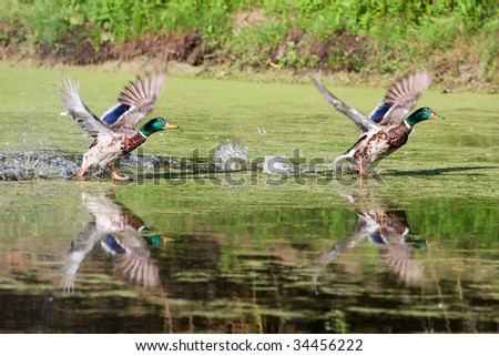 Two Mallards looking almost identical as they take flight. - stock photo