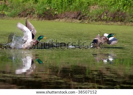Two Mallards taking off in flight in a swamp. - stock photo