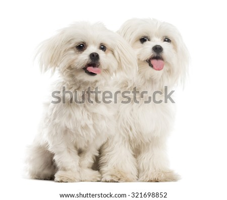 Two Malteses in front of a white background