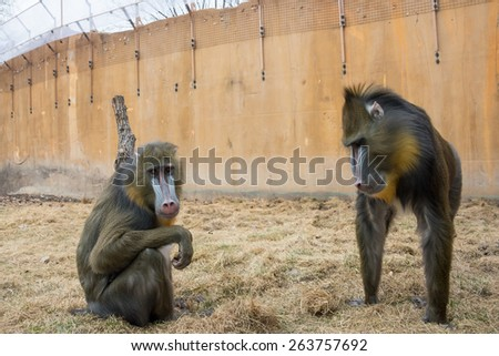 Two Mandrills in outdoor zoo - stock photo