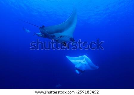 Two Manta Rays - stock photo