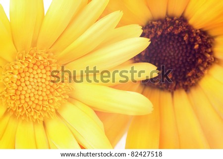 Two marigolds (calendula), macro. - stock photo