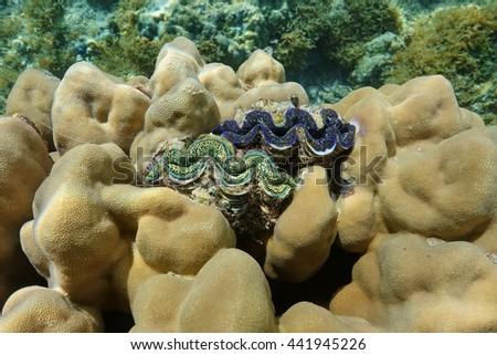 Two maxima clam marine bivalve mollusk, Tridacna maxima, encrusted in the coral, Pacific ocean, Maupiti island, French polynesia - stock photo