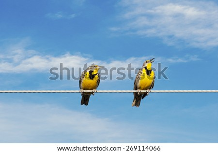 Two Meadowlarks on a wire.  One is singing while the other looks on in disgust. - stock photo