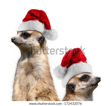 two meerkat with santa hats - stock photo