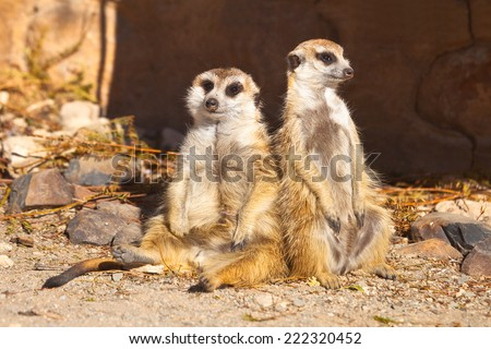 Two Meerkats sitting together, sunbathing and relaxing against a blurred background, Kimberley, South Africa - stock photo