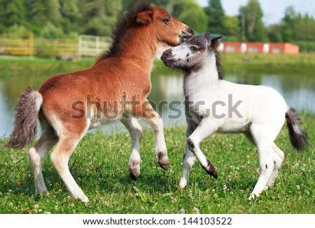 Two mini horses Falabella playing on meadow  in summer, bay and white, selective focus - stock photo