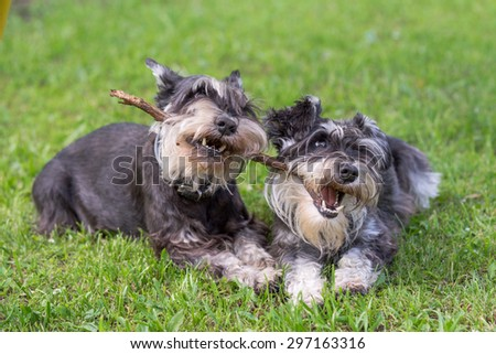 two mini schnauzer dogs playing one stick together on the grass.