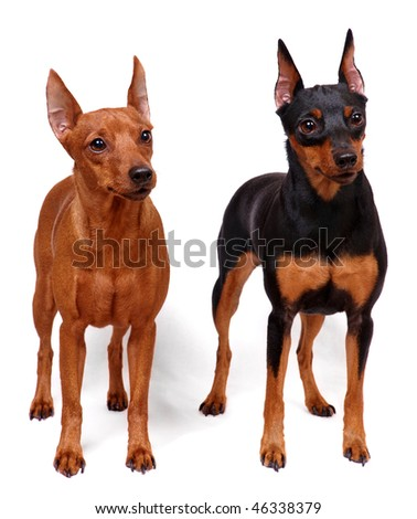Two Miniature Pinschers - stock photo