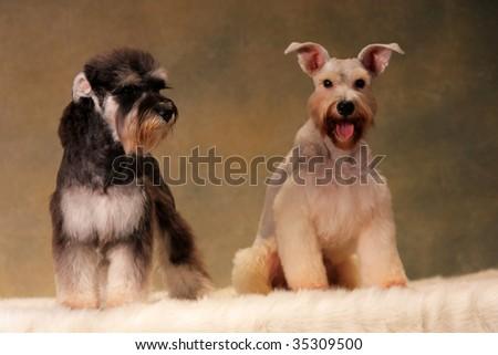 two Miniature Schnauzer  look at me - stock photo