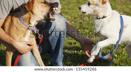 Two mixed breed dogs and their trainer on the lawn at a park. The dogs are fight-playing. - stock photo