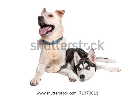 two mixed breed dogs, left a shepherd, golden retriever mix, right a husky, american indian dog mix - stock photo