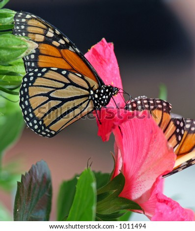 Two monarch butterflies on a pink flower.