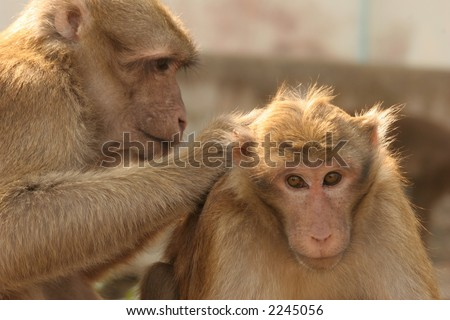 Two Monkeys in Love Two Monkeys