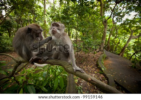 two monkeys in the monkey forest on Bali - stock photo