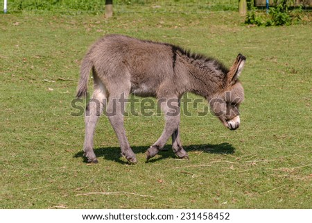 Two month old young baby donkey foal walking across a field - stock photo