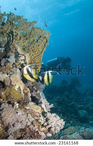 Two Moorish Idols and a diver in the background on a reef in the Red Sea - stock photo