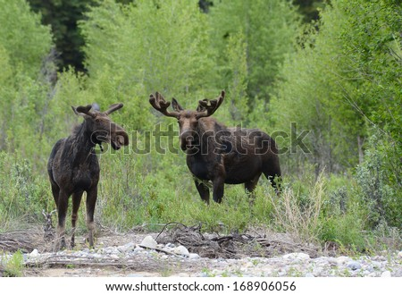 Two moose eating willows near the water. - stock photo