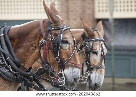 two mules pulling cart in the rain in Charleston, South Carolina