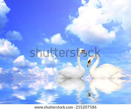 Two mute swans on blue water - stock photo