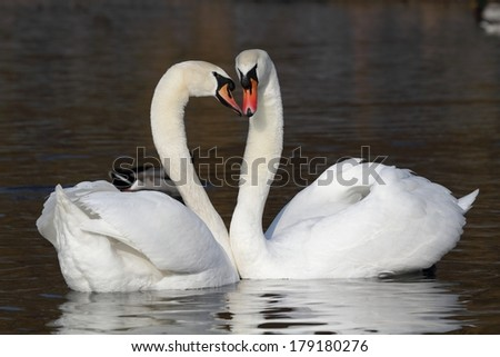 Two mute swans on the water. Courtship. - stock photo