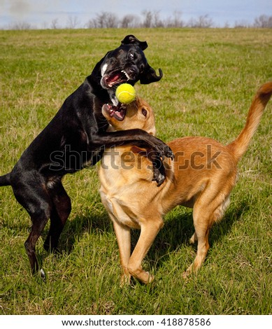 Two mutts energetically playing catch with tennis ball, one snarling and leaping