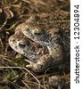Two Natterjack Toad, Bufo calamata, - stock photo
