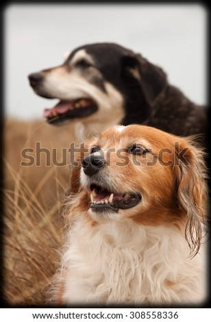 two New Zealand sheep dogs - Huntaway and collie type heading dog