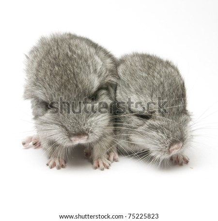 two newborn chinchillas close up isolated on white background - stock photo