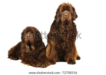 Two  newfoundland  dogs in studio on white background - stock photo