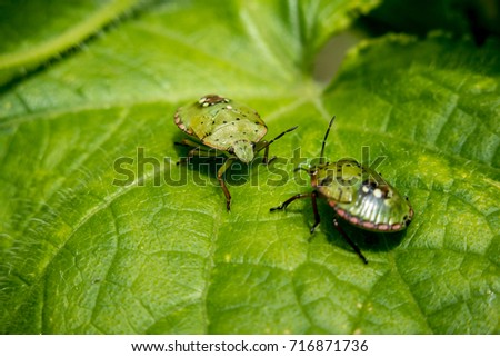 Two Nezara viridula bugs or southern green stink bugs on a cucumber plant
