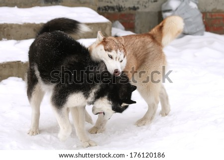 Two nice husky dog fighting on the snow - stock photo
