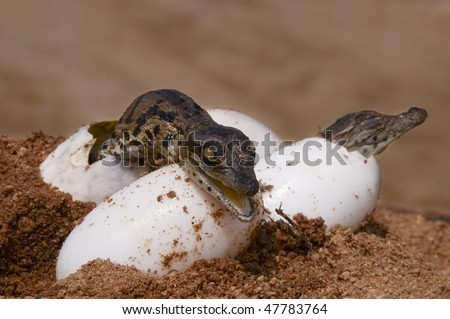 Two Nile Crocodiles hatching from their eggs - stock photo